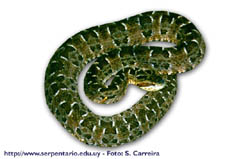 Bothrops pubescens - Yara
